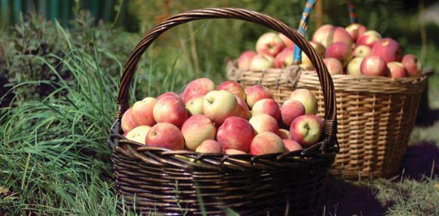 Högsäsong för äpplen
